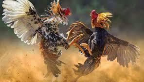 Judi Sabung Ayam Online Serta Perkembangannya Saat Ini